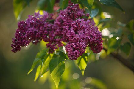 Lilac flower closeup on green background. Green bush