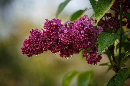Beautiful template on soft colorful backdrop. Soft color. Pink purple color. Green bush Фото со стока
