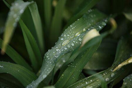 grass morning dew for wallpaper design. Green floral background. Summer background