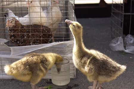 Small goslings drink water from a glass jar, hens stand in cages. Sale of chickens and birds on the farm market.