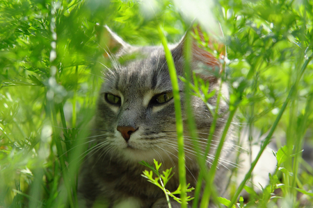Gray cute cat with green eyes lies on the ground among the verdant carrot tops and enjoys the warm day.