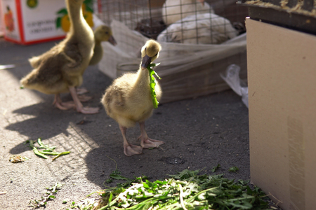 Lovely goslings eat dandelion leaves. The chicks tear off pieces from the delicate leaves next to the cardboard box on the farm market.