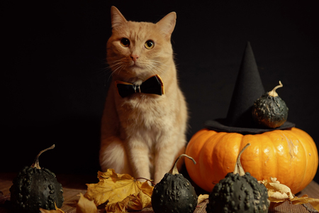 Peach cat in bow tie sits next to red pumpkin and small dark pumpkins with warts among dry leaves against black background. Concept of Halloween. Imagens