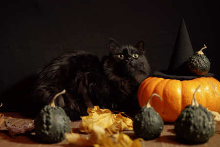 Dark scared cat sits next to red pumpkin and small warty gourds among dry leaves on a black background, space for text.Concept of Halloween.
