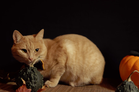 Peach cat in bow-tie sits next to small dark pumpkin with warts against black background, selective focus and place for text and. Concept of Halloween.