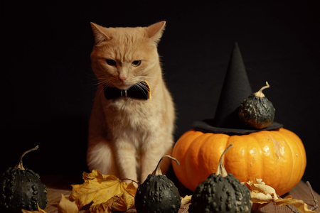 Peach cat in bow tie sits next to red pumpkin and small dark pumpkins with warts among dry leaves against black background. Concept of Halloween. 写真素材