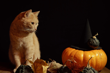 A little peach cat sits next to a red pumpkin and small warty gourds among the leaves on a black background.
