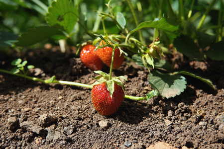 Closeup of red strawberries are grown on plantation on outdoor, berry background with space for text. Imagens