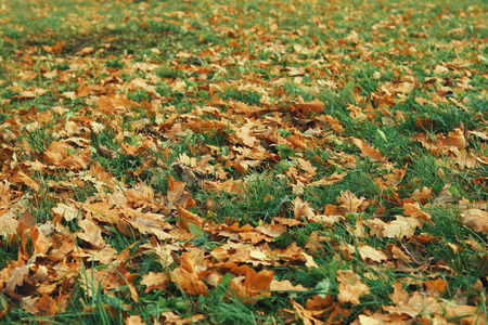 Fallen oak leaves among the green grass on the ground in the forest on a day.
