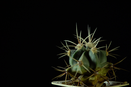 Closeup of green cactus Echinocactus platyacanthus with ribs covered with sharp strong thick needles on a dark background