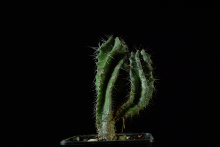 Close up of a green cactus Polaskia chichipe branching with deep ribs covered with sharp needles on a dark background