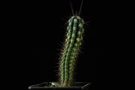 Close up of a green Stetsonia coryne cactus with smooth ribs covered with sharp needles on a dark background.