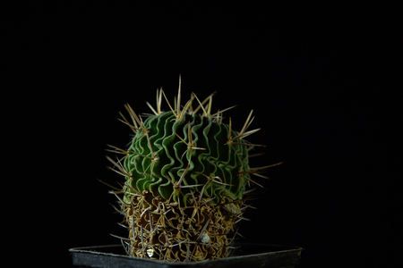 Closeup of green cactus Echinofossulocactus grandicornis with wavy ribs covered with sharp needles against a dark background. Imagens