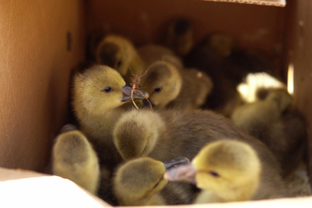 Lovely goslings stand in a cardboard box, they are lit by the suns rays. Preparing the chicks for sale on the farm.