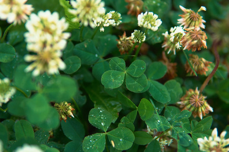 Drops of water on an amazing green four-leaf clover growing inmeadow of white flowers, symbol of good luck, space for text. Imagens