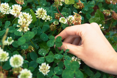 A female hand holds an amazing green four-leaf clover growing on a meadow with white flowers. Someone wants to keep the green symbol of good luck. Imagens