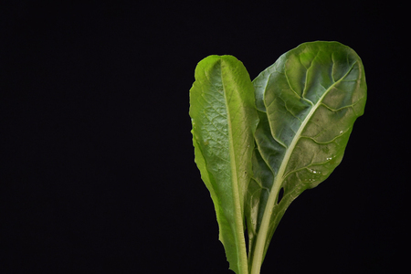 Young lettuce and green chard leaves on black background,space for text. Concept of healthy and proper nutrition.