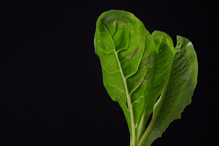 Young lettuce and green chard leaves with droplets of water on black background,space for text. Concept of healthy and proper nutrition.
