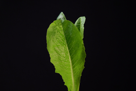 Green young lettuce leaves on a black background, space for text. Concept of healthy and proper nutrition. Imagens