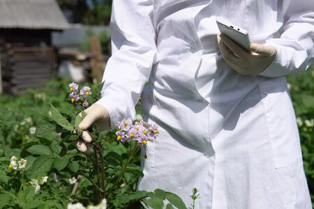 Agronomist captures leafs with smartphones camera, using special program for analyzing plant changes. Female lab assistant in white coat studies growth of potato varieties on experimental territory.