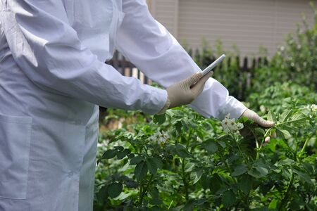 Agronomist captures leaf with smartphones camera, using special program for analyzing plant changes. Female lab assistant in white coat studies growth of potato varieties on experimental territory