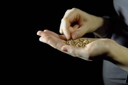 Woman fingers holding handful of grain oat in hand on a black background, preparing for sowing. Imagens