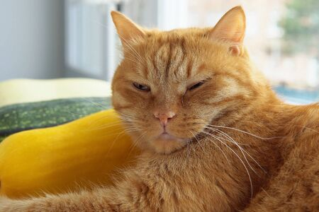 Ginger tabby cat lies on windowsill near colorful vegetable marrows.