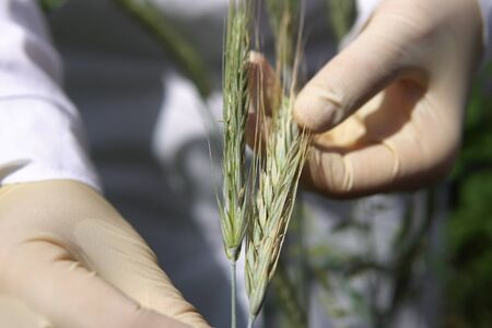 Close up female lab technician checks green ear of rye for presence of sclerotium of ergot fungi or other fungal diseases.