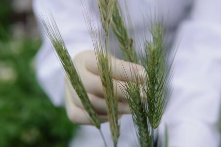 Female laboratory assistant in white gloves holds green unripe spike and checks the plant for fungal diseases, closeup. 写真素材