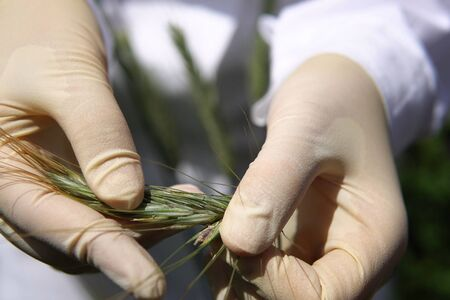 Female laboratory assistant in white gloves holds green unripe spike and checks the plant for fungal diseases, closeup. Imagens