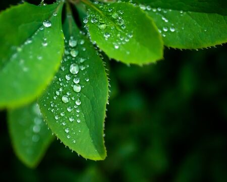 Close-up of barberry leaves with silver raindrops, place for text. 写真素材