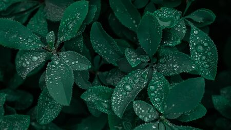 Raindrops on blue green barberry leaves after rain in the evening, selective focus. 写真素材