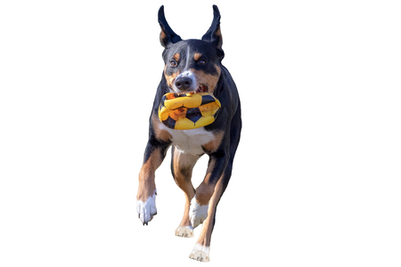 flying dog with a ball, white background - isolated, Appenzeller Mountain Dog Reklamní fotografie