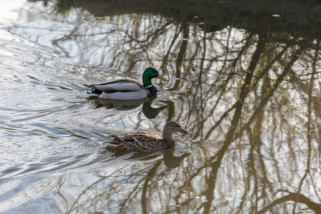 Male mallard follows female duck as they swim on water surface of small lake in spring