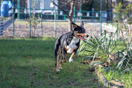 Playful Bearded Appenzeller Mountaindog running on green grass 写真素材