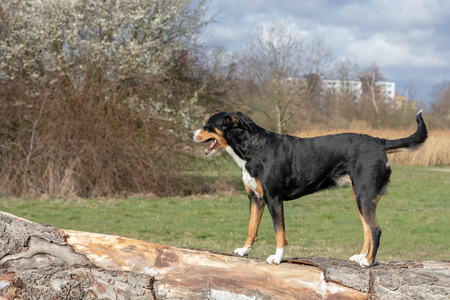 Appenzeller breed dog standing on a tree trunk and looking forward. Reklamní fotografie