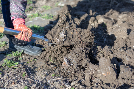 Gardening preparing soil by digging over with a garden spade.
