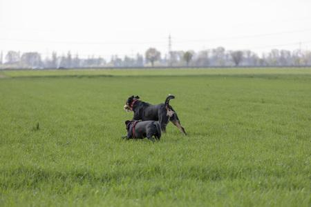 Appenzeller Mountain dog run with a Labrador mix puppy outdoors