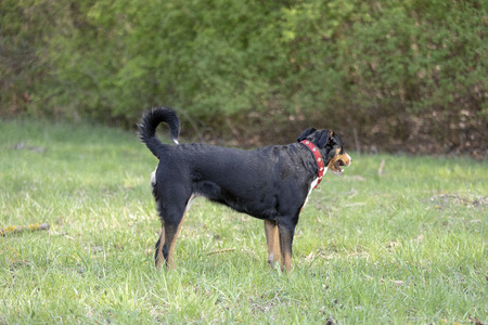 Appenzell cattle dog running on the green grass Banque d'images