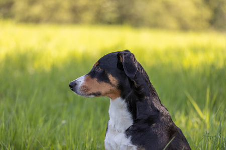 Appenzeller mountain dog sitting in the grass outdoors Banque d'images - 121535204