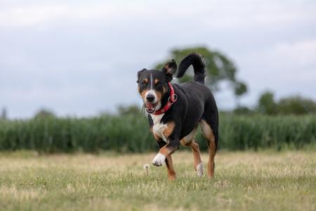 a appenzeller mountain dog running on the grass.