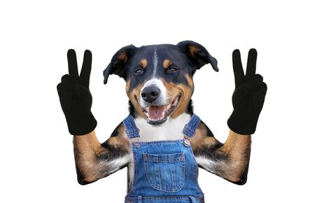 Dog in jeans dungarees. Isolated on white background Фото со стока