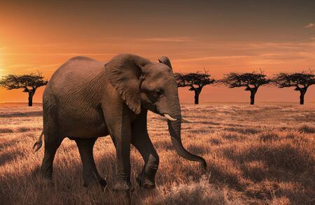 Wild elephant in the African savanna against the background of a beautiful orange sunset. Reklamní fotografie