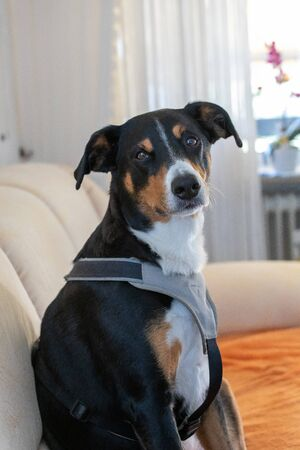 Adorable Appenzeller Mountain Dog puppy on sofa indoors