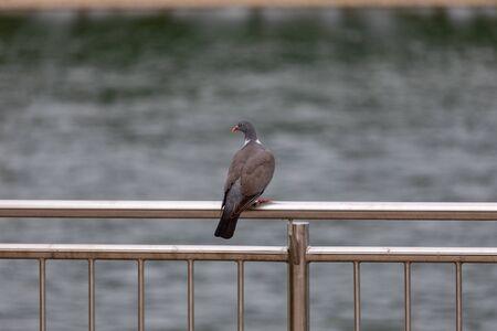 Pigeon walking along on a metal railings