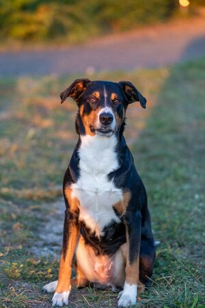 Portrait of appenzeller mountain dog, sitting on the summer field, natural light Stock Photo