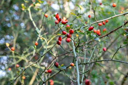 A beautiful wild rose Bush with berries