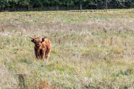Animal or wildlife concept. View of the beautiful brown hairy Highland cattle cow standing in the grass