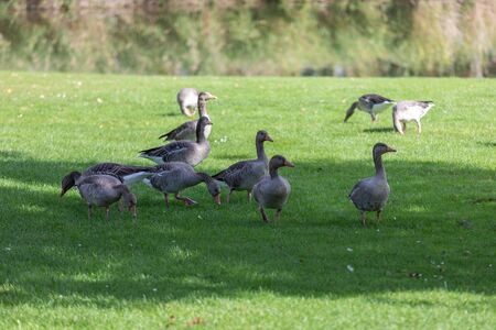 a flock of large geese, gray domestic geese