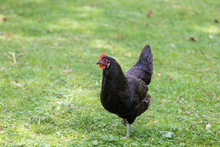 Black feathers chicken hen walking on a green field Reklamní fotografie